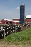 Modern Wisconsin Dairy Farm and Milk Cows Royalty Free Stock Image