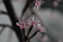 Moderna rosa Cherry Blossom Branches Abstract Black och Gray Mood royaltyfria foton