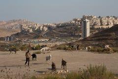 Moderne geitenherder in Israël Stock Foto