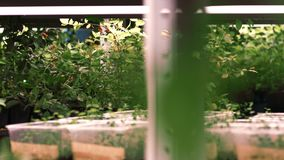 Moderne landbouw Installaties die in groen huis groeien Jong boompjeinstallaties in serre stock video