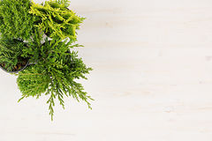 Moderne samenstelling van installaties van de assortiments de groene naaldboom in potten hoogste mening over witte houten raadsac Stock Foto's