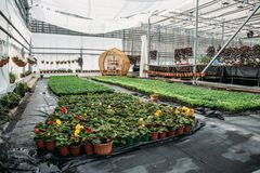 Moderne serrekinderdagverblijf of serre, industriële tuinbouw, cultuur van zaailingen van sierplanten en bloemen royalty-vrije stock fotografie
