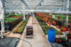 Moderne serrekinderdagverblijf of serre, industriële tuinbouw, cultuur van zaailingen van sierplanten en bloemen stock foto's