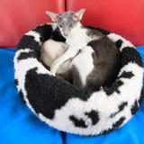 Moderne siamese katten Royalty-vrije Stock Afbeelding
