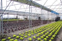 Moderner Bauernhof für wachsenden Kopfsalat Stockbild