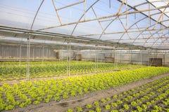 Moderner Bauernhof für wachsenden Kopfsalat Stockfoto