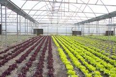 Moderner Bauernhof für wachsenden Kopfsalat Stockfotos