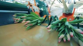 Moderner Förderer sammelt rosa Tulpen in die Bündel Bewegungen sie stock footage