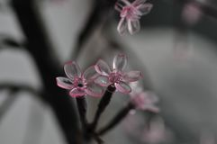 Moderner rosa Cherry Blossom Branches Abstract Black und Gray Mood lizenzfreie stockfotos