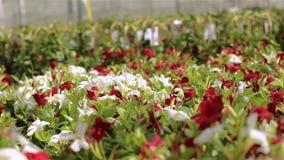 Modernes Gewächshaus mit blühenden Blumen Viele roten Blumen im Gewächshaus Gewächshaus mit einem Glasdach stock footage