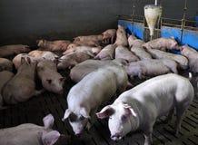 Moderno Empresa para pigs_5 fotografia de stock