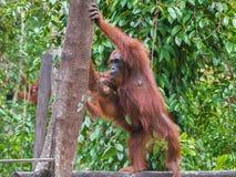 Moderorangutanget med henne behandla som ett barn anseende på en journal och plan för att klättra ett träd (Indonesien) Royaltyfri Bild