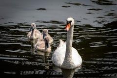 Modersvan med 3 unga svanar royaltyfri foto