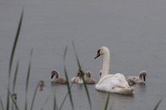 Modersvanen och behandla som ett barn i regn Royaltyfria Bilder