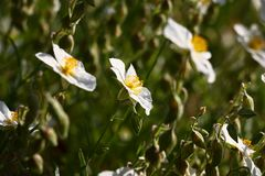 Modest flowers of a helianthemum. The small bush of a helianthemum is decorated by bright white florets with yellow stamens Stock Photo