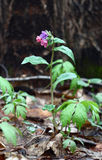 Modest pulmonaria. Royalty Free Stock Images