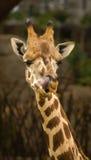Modi di una giraffa, Valencia, Spagna Immagini Stock Libere da Diritti