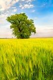 Modific il terrenoare con un albero solo in un campo di frumento Fotografia Stock
