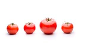 Modificación genética en los tomates Imagen de archivo libre de regalías