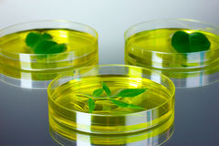 modified plants tested in petri dishes gray Stock Images