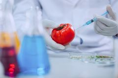Determined knowledgeable scientist testing tomatoes. Modifying vegetables. Clever professional biologist wearing a uniform and testing tomatoes stock image