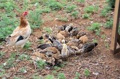 Modig höna för amerikan med barnaskaran av fågelungar arkivfoto