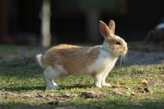 Modig kanin står på ett gräs Royaltyfri Foto