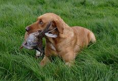modig rapphönafor för hund royaltyfria bilder