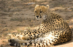 modig reservthornybush för cheetah Royaltyfria Foton