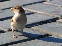 modig sparrow Arkivfoton