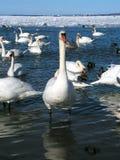 modig swan arkivfoton