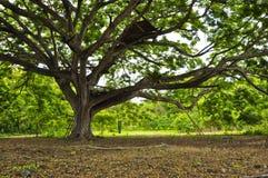 modig tree Royaltyfri Bild