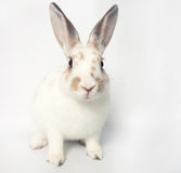 Modig vit behandla som ett barn kaninen med enorma ögon på en vit backgroud Royaltyfri Bild