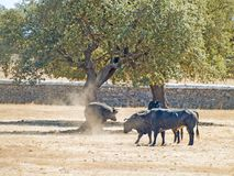 Modiga tjurar på beta i Spanien på sommartid arkivbilder