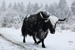 Modiga yak Fotografering för Bildbyråer