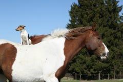 Modigt sammanträde för prästRussell terrier på hästbaksida Arkivfoton
