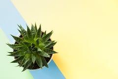 Modischer gelber Hintergrund mit grüner saftiger Anlage auf blauem Schrägstreifen Beschneidungspfad eingeschlossen Lizenzfreies Stockfoto