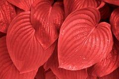 Modischer korallenroter Hosta verlässt morgens Tau lizenzfreie stockbilder
