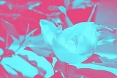 Modisches Entwurfs-, Natur- und Hintergrundkonzept glühenden Neoneffekt duotone in den Blumen auf den Lavendelgebieten in der Pro stock abbildung