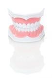 Modèle dentaire des dents Images libres de droits