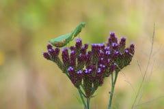 Modlenie modliszka na kwiacie obraz stock