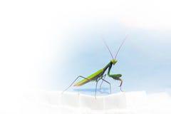 Modlenie modliszki copyspace natury insekta tło Zdjęcia Stock