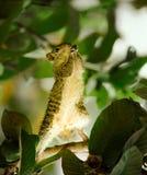 Modlenie wiewiórka na drzewie fotografia stock