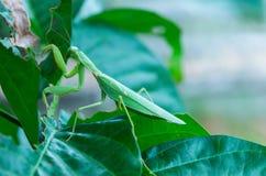 Modliszka, Mantodea jest na zielonym liściu zdjęcie stock