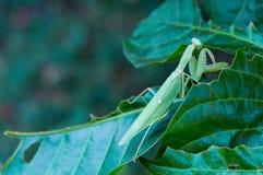Modliszka, Mantodea jest na zielonym liściu w ogródzie zdjęcie stock