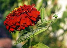 Modliszka siedzi na czerwonym kwiacie zdjęcie royalty free
