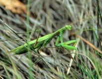Modliszka wśród suchej trawy, zakończenie Fotografia Royalty Free