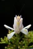 modliszki orchidea Obraz Royalty Free