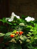 modna ilustracja odizolowywający róży wektoru biel Zdjęcia Royalty Free
