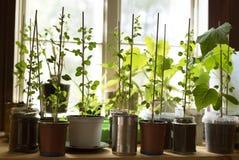 Modnisia stylu życia ogród r świeżych organicznie warzywa w windowlight zasadzającym w wiele różnych reused potts Obraz Royalty Free